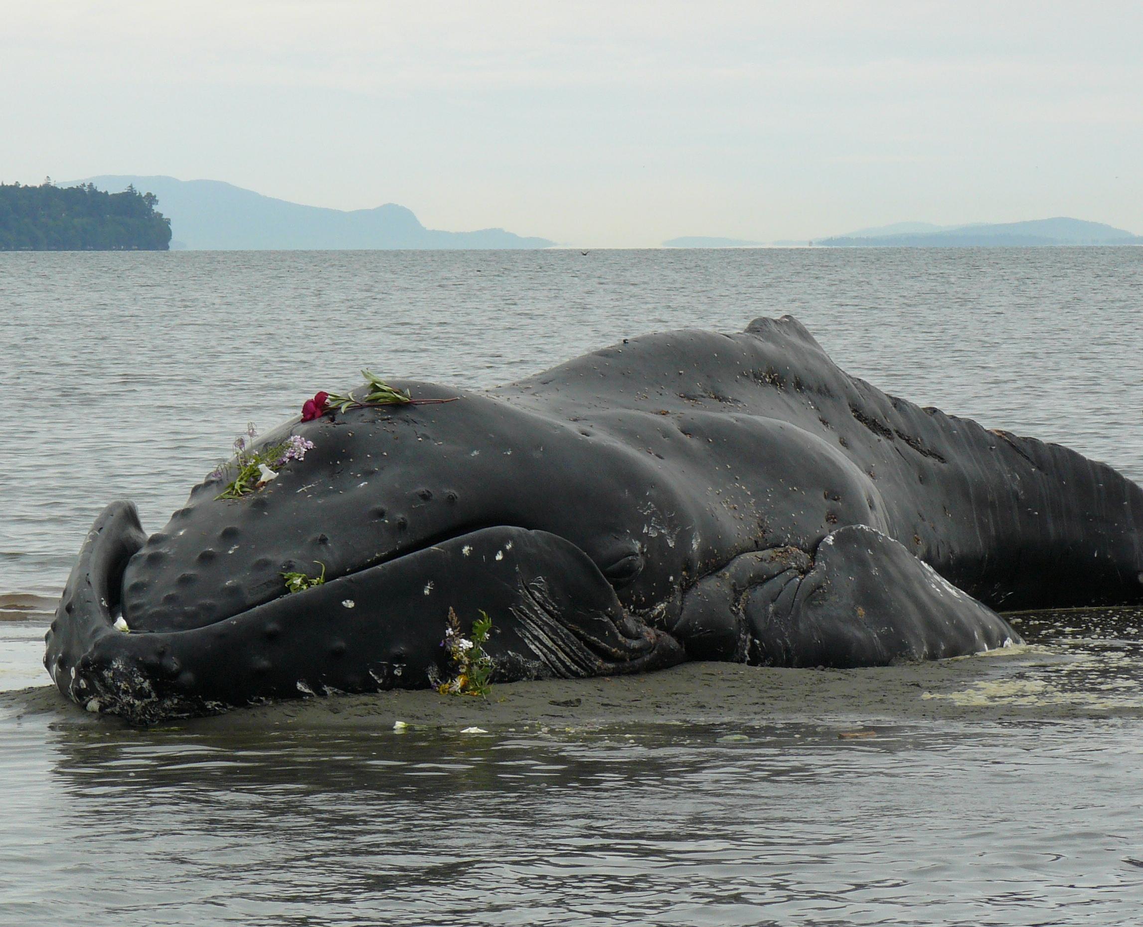 Humpback Whale Pearson College Marine Science