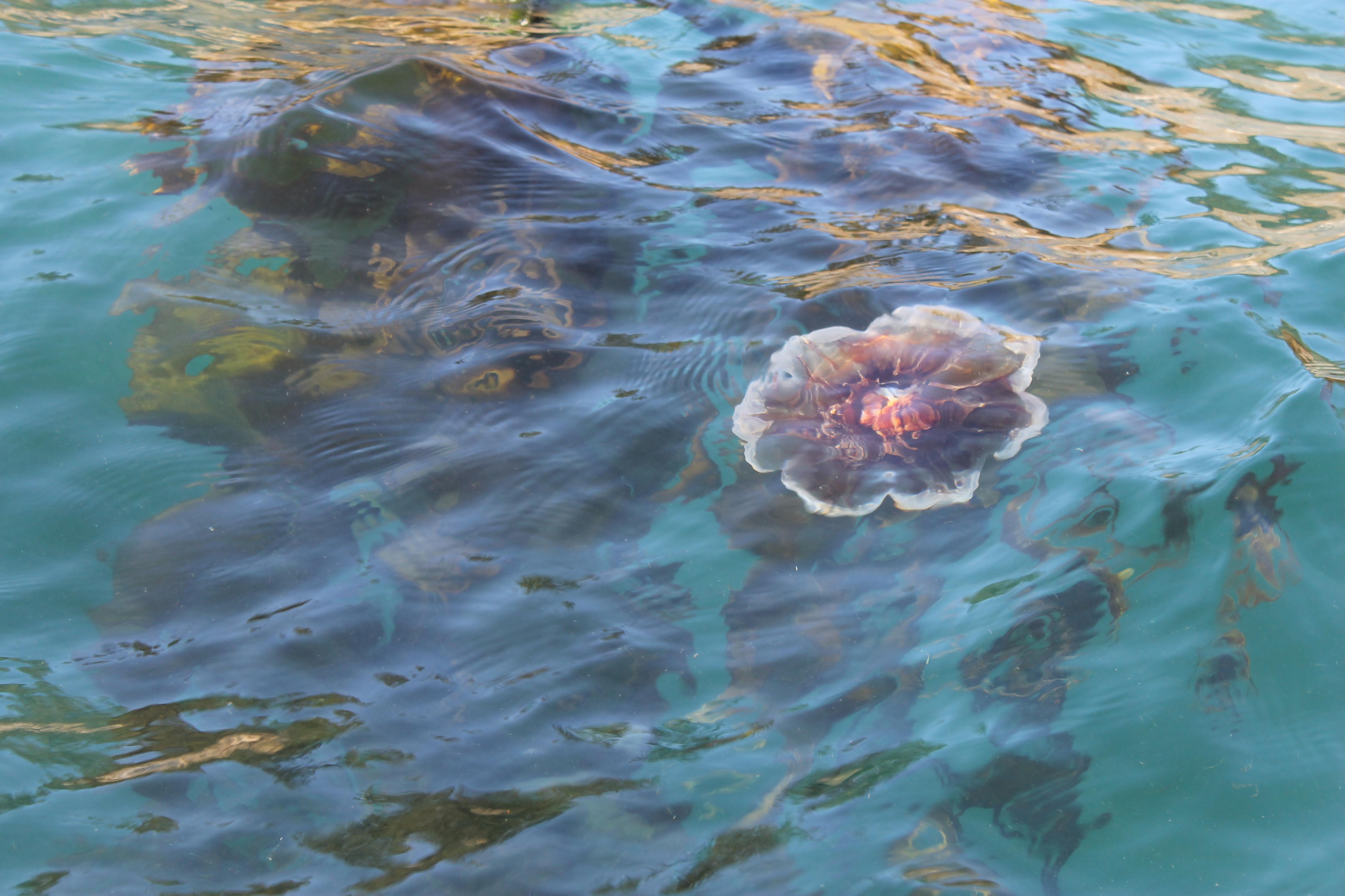 Cyanea capillata | Pearson College Marine Science