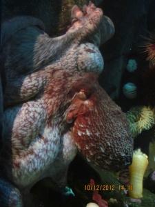 Enteroctopus dofleini