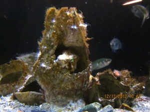 Grunt in barnacle