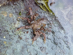 Decorator crab1