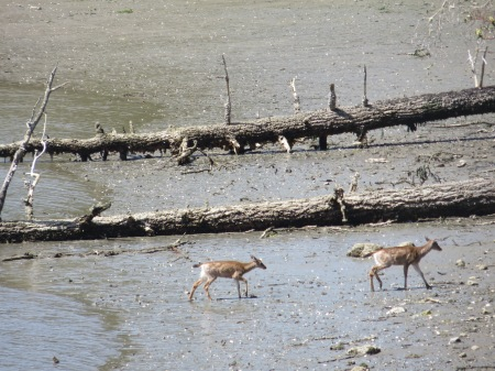 Intertidal deer2