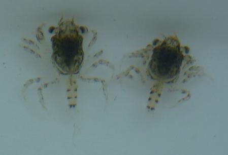 Megalopae2