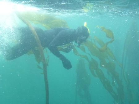 Syver in kelp