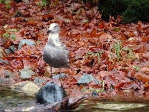 Standing gull