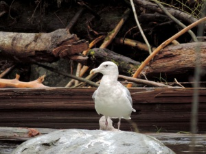Standing gull2