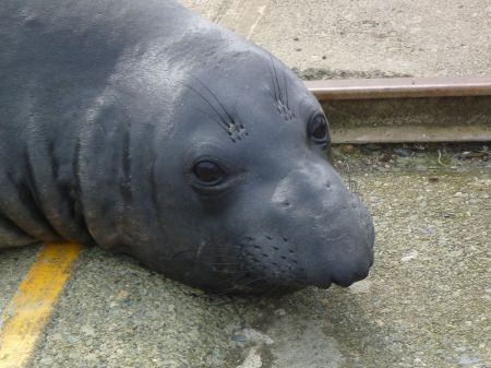 Elephant seal2