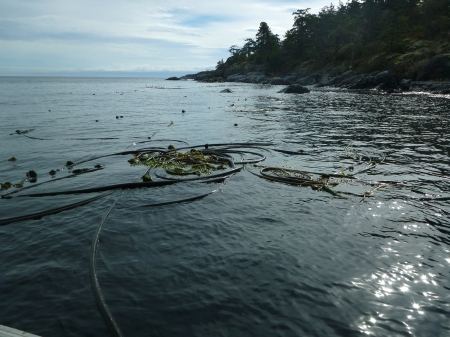 Kelp at surface
