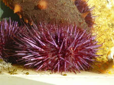 Purple urchin2