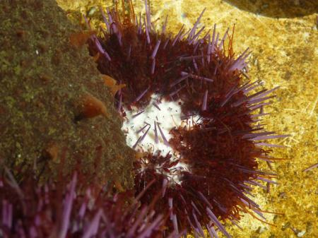 Urchin sperm
