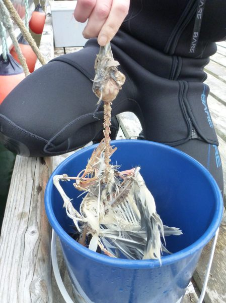 Gull skeleton in bucket