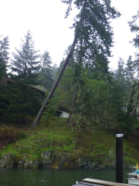Next tree to fall