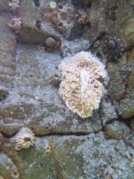 Sea mouse
