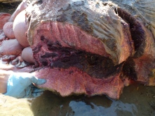 Blubber and dark red pectoral muscle