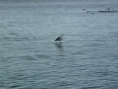 gull-standing-on-water