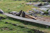 Interacting elephant seals