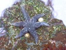 Six armed sea star