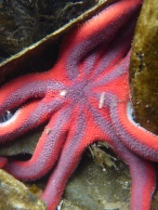 Striped sun star with commensal worm